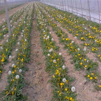 Pu Gong Ying Wholesale Perennial Flower Seeds Dandelion Seeds