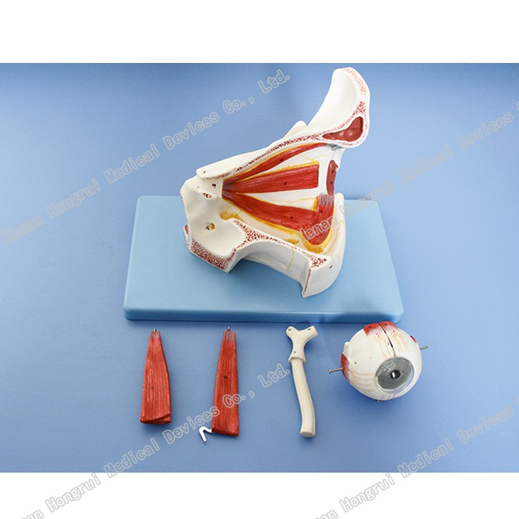 Ciencia Médica Tema Humano Modelo Anatómico Del Ojo Con La Órbita ...