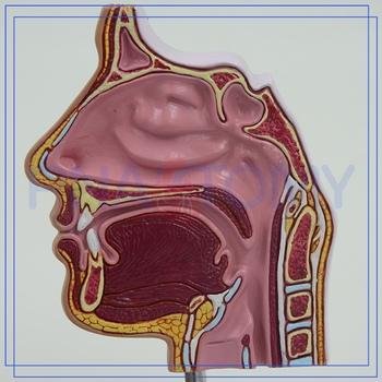 Pnt-04361 Nasal Cavity Anatomy Model Oem - Buy Nasal Cavity Anatomy ...