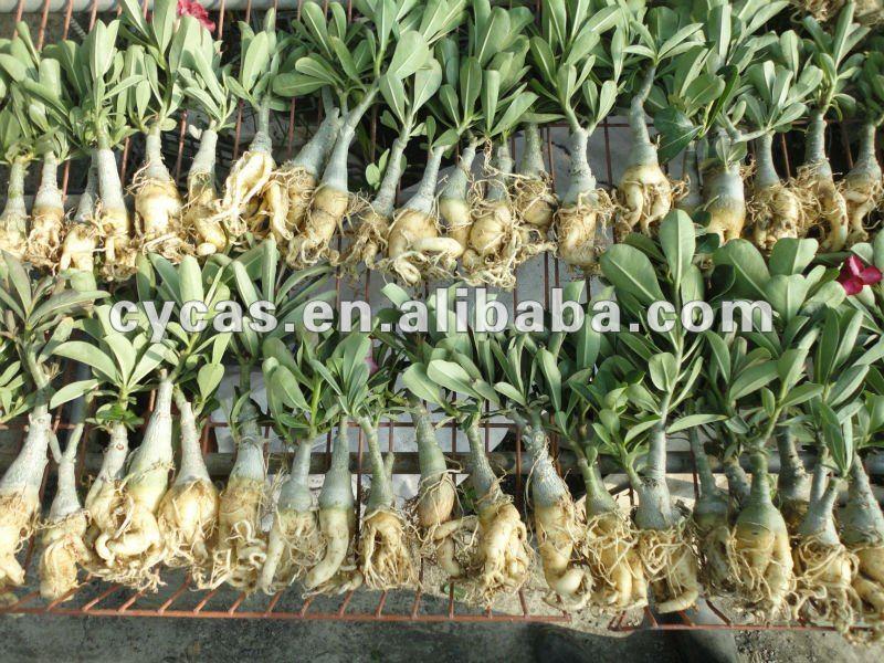 Vendere adenium obesum piante di fioritura id prodotto for Bouganville in vaso prezzo