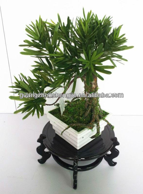 Ficus Microcarpa Ficus Ginseng Bonsai Bonsai Tree Buy Ficus