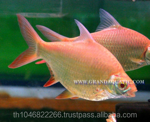 Albino Red Tail Tinfoil Barb Fish / Thailand Tropical Fish Exporter