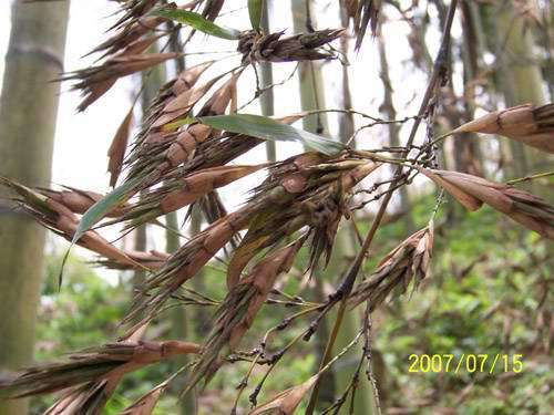 New Crop High Purity Moso Bamboo Seeds For Planting