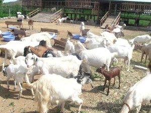 Live Goat Price In Tamilnadu