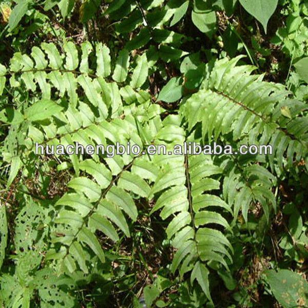 High Quality Cyrtomium fortunei (Basket fern) P.E.