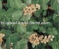 High quality Vitex agnus castus Extract