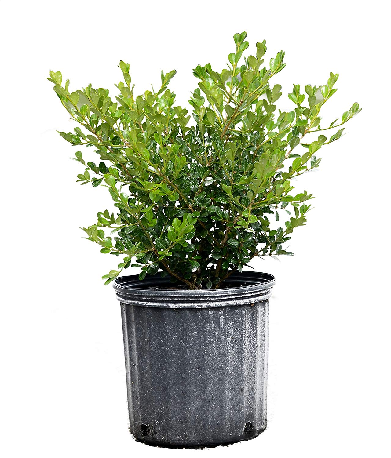 Buxus microphylla Japonica, Japanese Boxwood - 3 Gallon - 4 Pack Live Plant