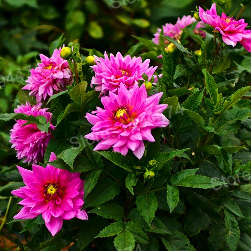 100pcs/bag mix color dahlia flower dahlia seeds,bonsai flower seeds Bonsai plant for home garden Chinese peony garden plant
