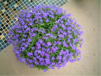 Sale Chinese Lobelia Erinus Flower Seeds Lobelia Campanulaceae Seeds For Growing Buy Lobelia Campanulaceae Seedsflower Seeds For Plantinglobelia