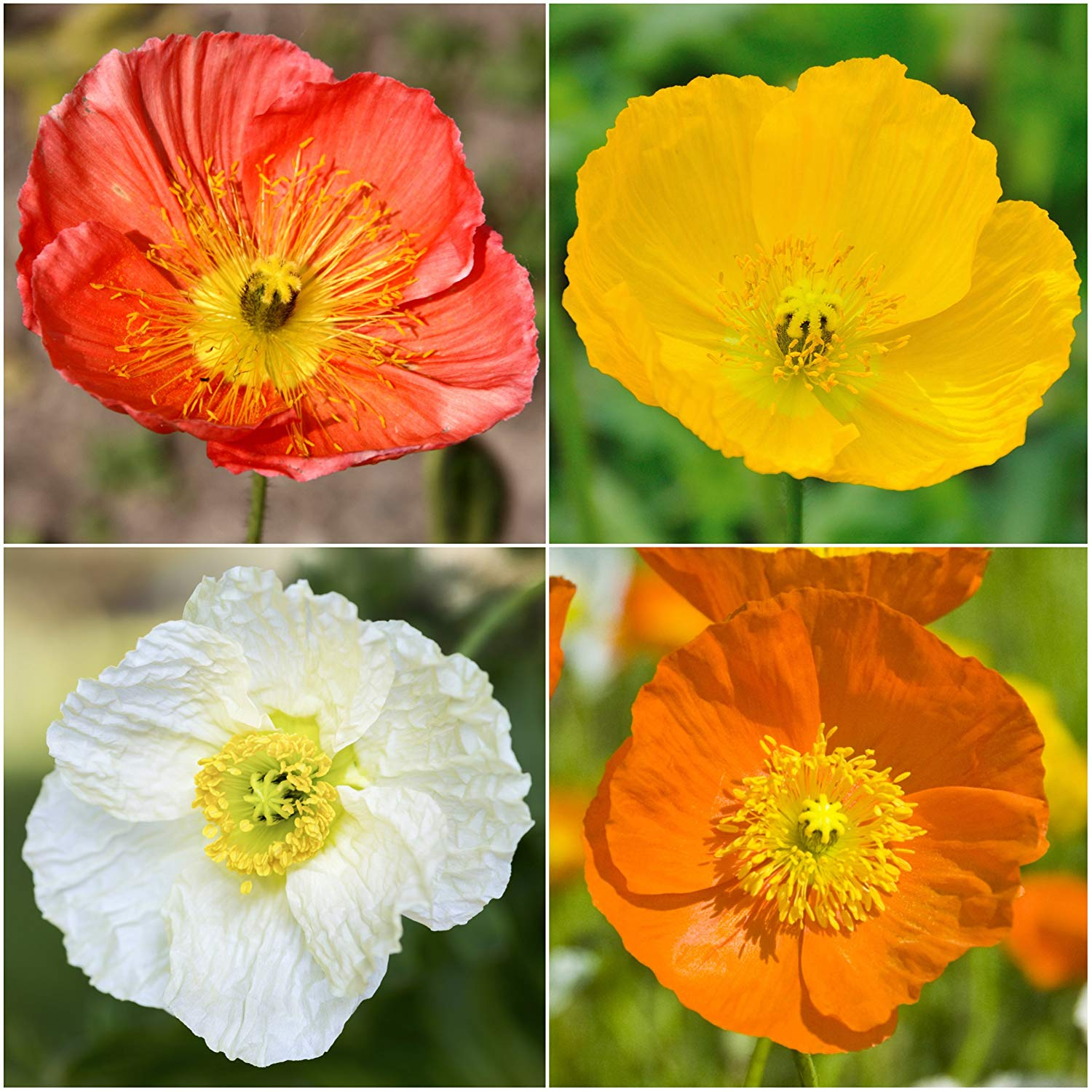 Package of 10,000 Flower Seeds, Iceland Poppy Mixture (Papaver nudicale) Non-GMO Seeds by Seed Needs