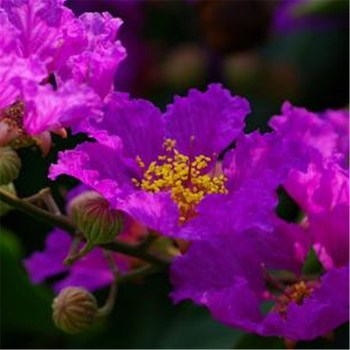Lagerstroemia indica herb seeds for planting good quality lagerstroemia indica seeds