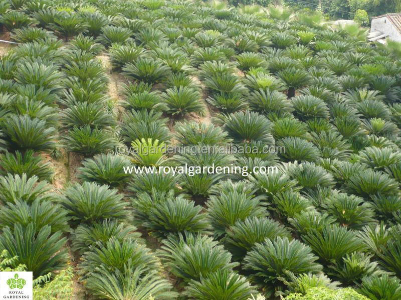 Cycas Revoluta Sago Palm Nursery