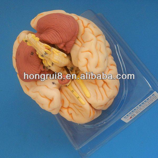 Iso Deluxe Brain Anatomical Modelhuman Brain 3d Model Buy