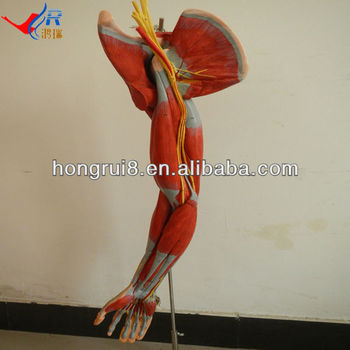Hot Sale Medical Muscle Of Arm Model,With Main Vessels And Nerves ...