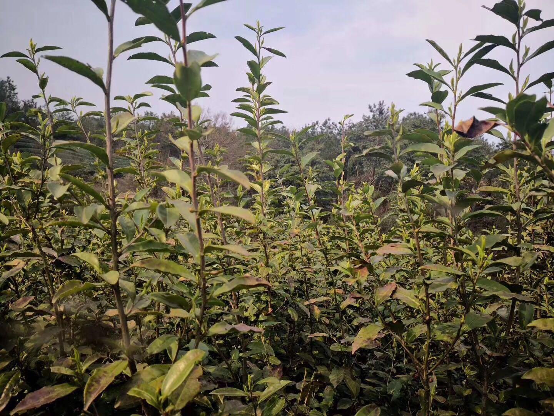 Top grade B Longjing green tea Chinese West Lake Longjing green tea - 4uTea | 4uTea.com