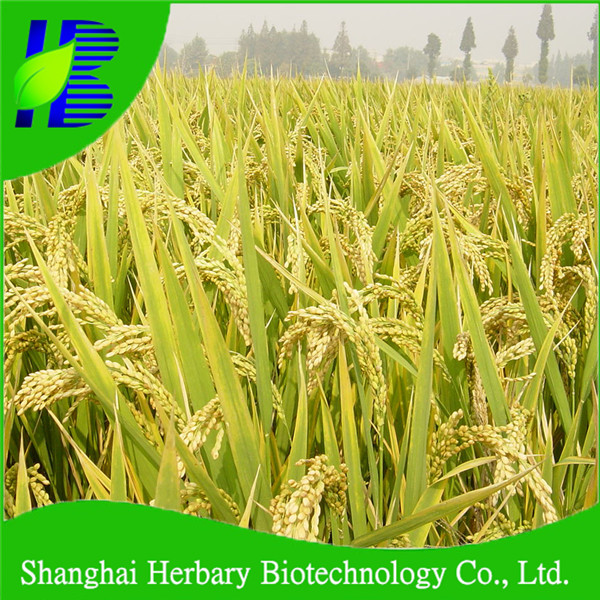 2017 Laest agricultural seeds, rice seeds for cultyvation