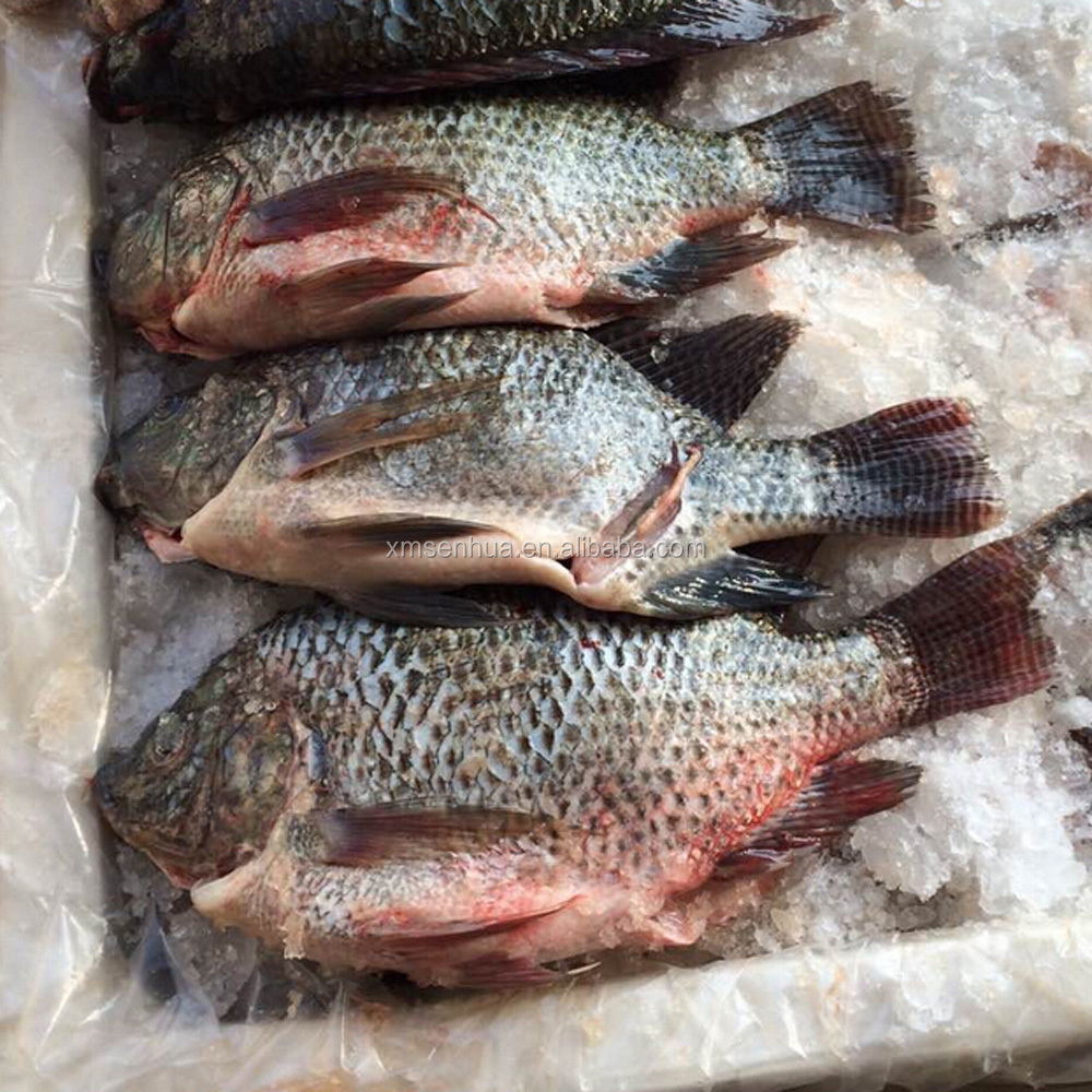 Frozen black tilapia whole round gutted and scaled