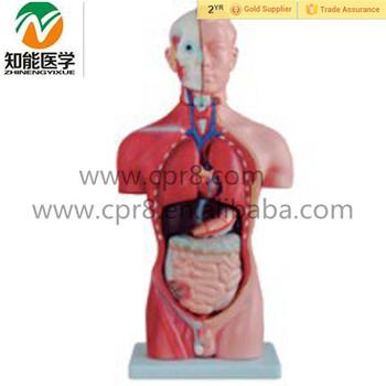 Human Body Anatomical Male Torso Model With Organ Buy Torso Model