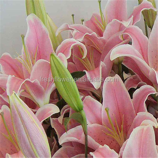 supply different kinds lily flowers from original flower plants, Natural flower
