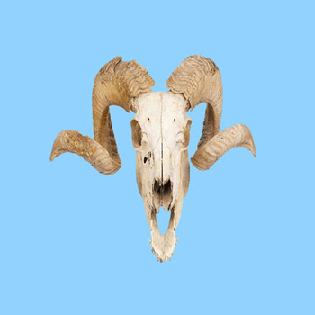 Curly Horned Ram Skull Wall Decal Hanging Decoration