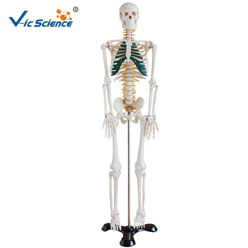 85 cm esqueleto humano pintada con los músculos modelo-Ciencia ...