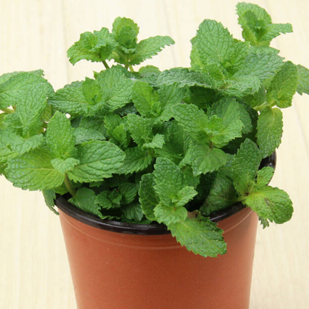 Ornamental Plants indoor plant air cleaned plant of mint
