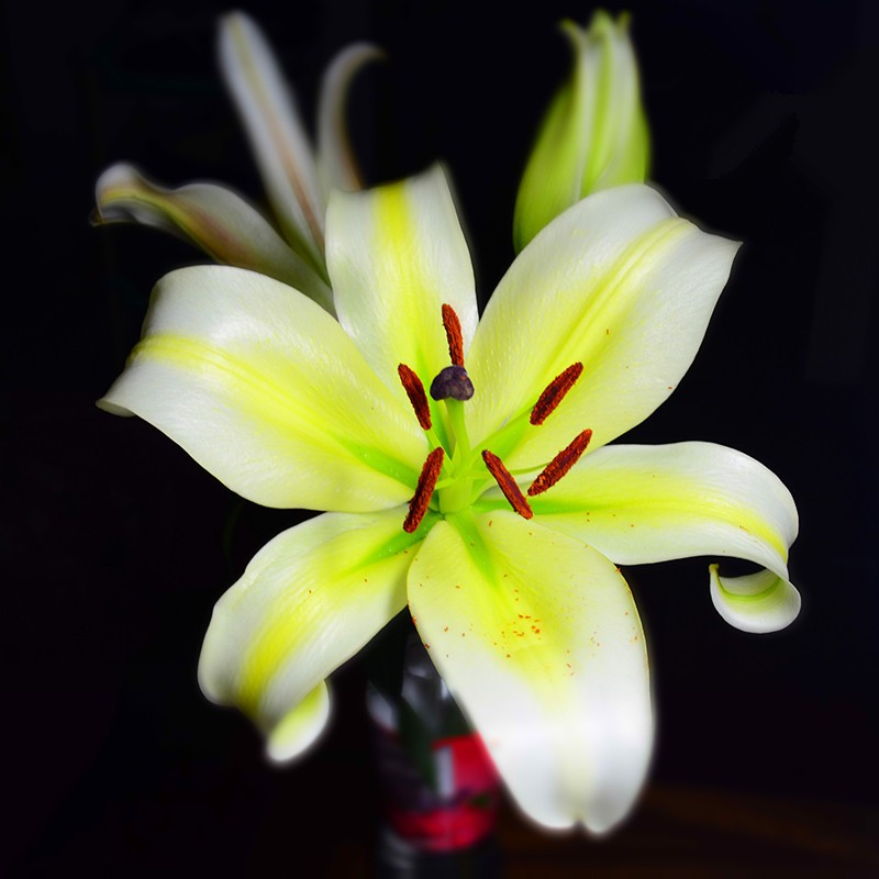 Fresh cut flower lily made in China