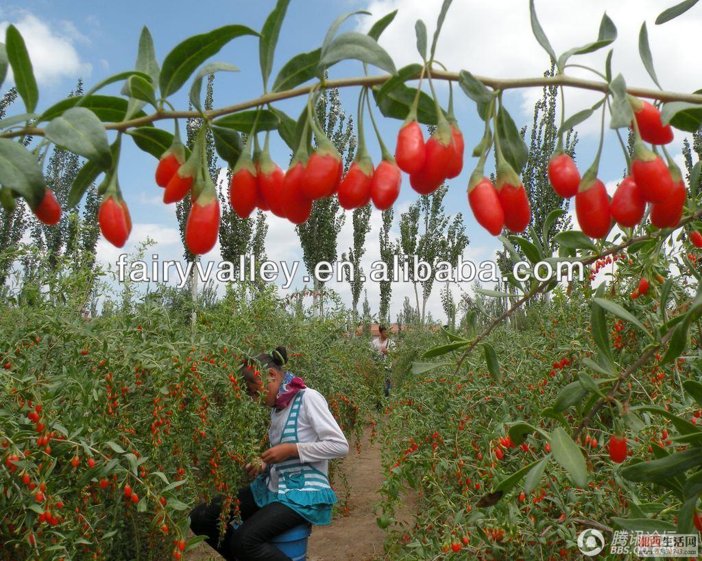 Ningqi Goji No 7 Seeds Ningqi No 7 Chinese Best Wolfberry Medlar
