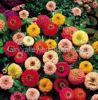Newest Zinnia Seeds For Sale In Bulk In Your Garden