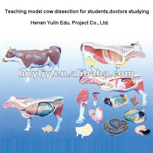 850*250*540mm medical model cow dissection for students,doctors,teachers studying