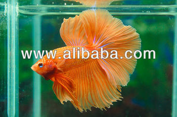 how to buy a betta fish