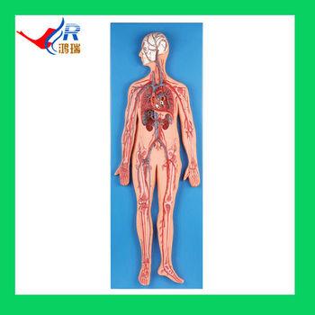 Advanced Anatomía Humana Modelo,Sistema Circulatorio Humano - Buy ...