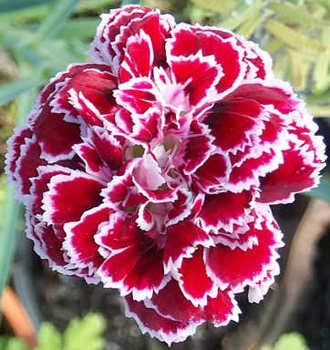 800+ Gambar Bunga Anyelir HD Paling Baru