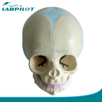 Infant Schädel Modell,Baby Schädel Modell,Schädel Anatomie Modell ...