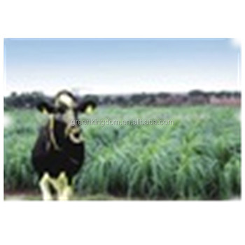 Livestock Favored Pennisetum of America Grass Seed From China