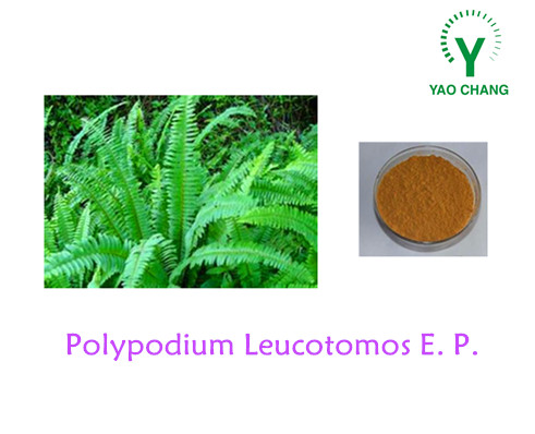 Manufacturer Sypply Polypodium Leucotomos Extract with Competitive Price