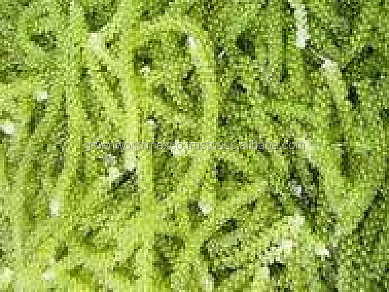 FRESH SEA GRAPE -SEAWEED_HIGH QUALITY - CHEAPEST PRICE