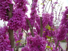 Chinese Redbud Seeds Judas Seeds Beautiful Flower Tree Seeds For Sale
