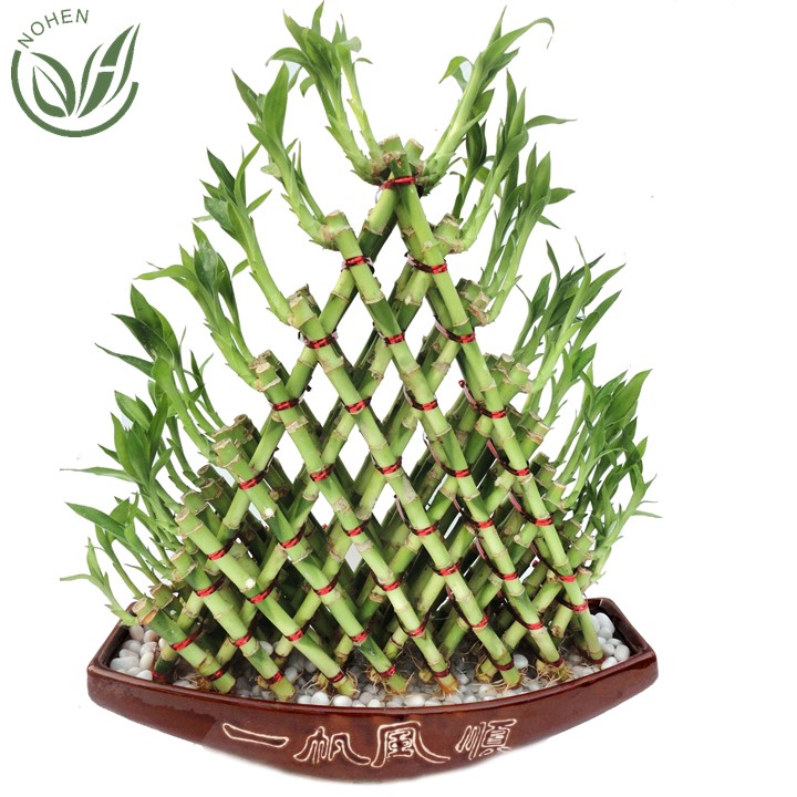 Lucky Bamboo Indoor Decoration Lucky Bamboo Plant In Home And Lucky Bamboo  Wholesale - Buy Lucky Bamboo,Lucky Bamboo Plant,Lucky Bamboo Wholesale