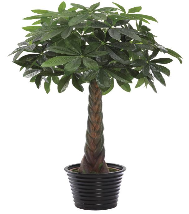 arbre d 39 argent arbre de la chance tresse arbre pachira paysagistes et autres l ments. Black Bedroom Furniture Sets. Home Design Ideas