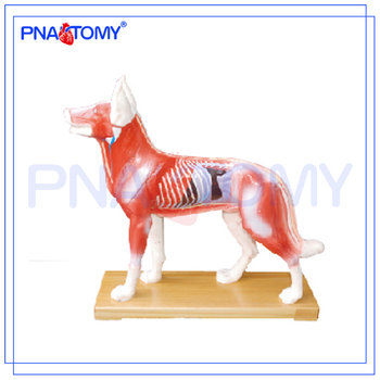 Pnt-am44 Dog Acupuncture Model Animal Anatomy Model - Buy Animal ...