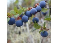 Nature Fruit Bilberry Extract