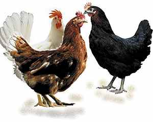We Produce Golden,Misri,Layer,Nera,Black Queen,Kero Queen,Sparrowlight Etc  Chicken - Buy Chicken Product on Alibaba com
