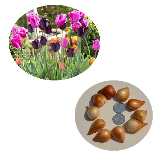 Yu Jin Xiang Tulip Flower Seeds For Sale Buy Tulips Seeds For