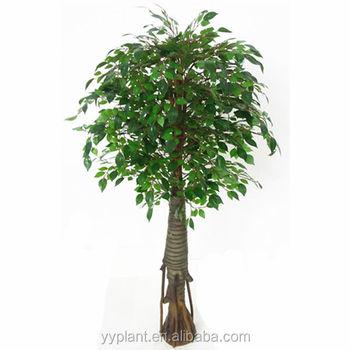 0614 Ficus Microcarpa Ficus Ginseng Bonsai Bonsai Tree Buy Ficus