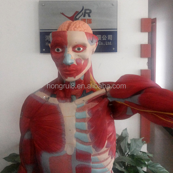 Iso Human Anatomy Organs Model,Full Body Musles Model - Buy Human ...