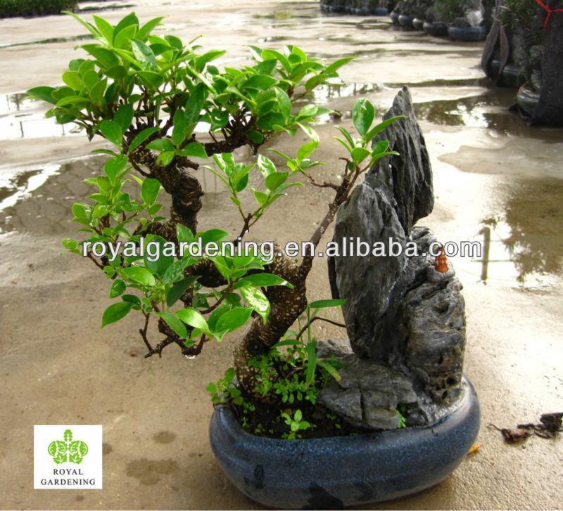 Ficus Microcarpa Stone Bonsai