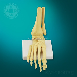 Plastic medical teaching silicone foot model/human foot model