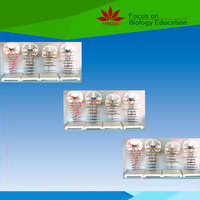 High quality anatomical model Motion conduction path (pyramidal system) medical model