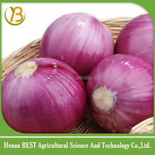 best red onion for comoros supply/50mm size red onion/big onion